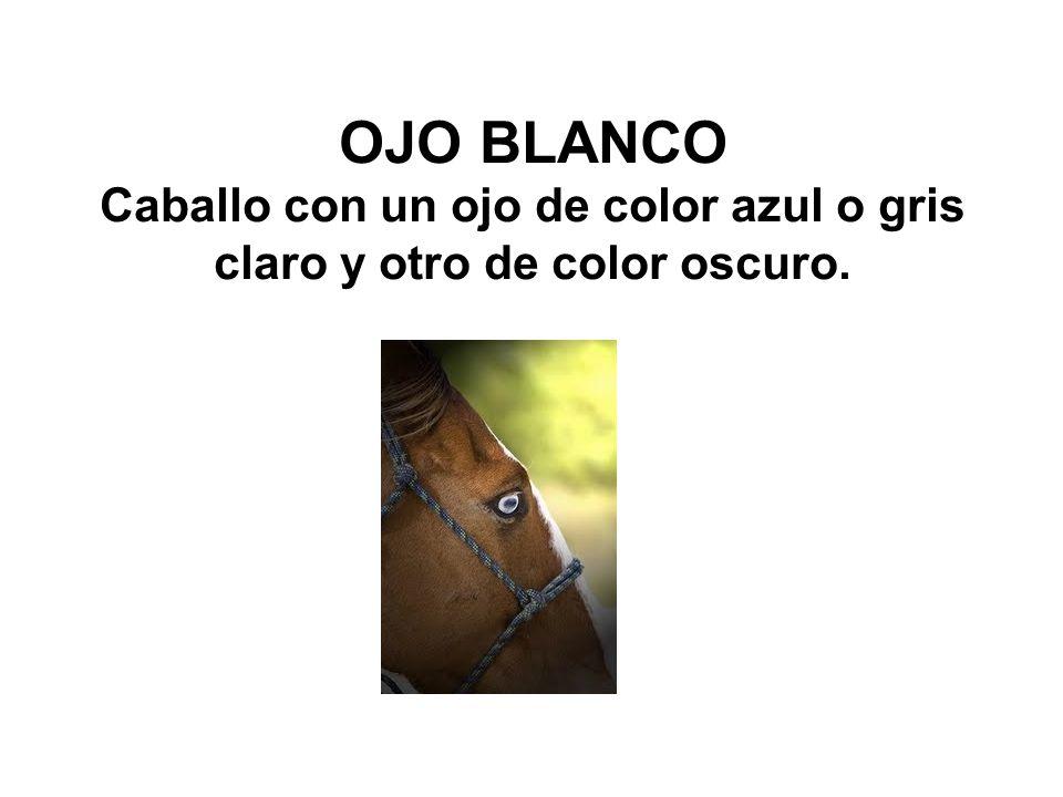 OJO BLANCO Caballo con un ojo de color azul o gris claro y otro de color oscuro.