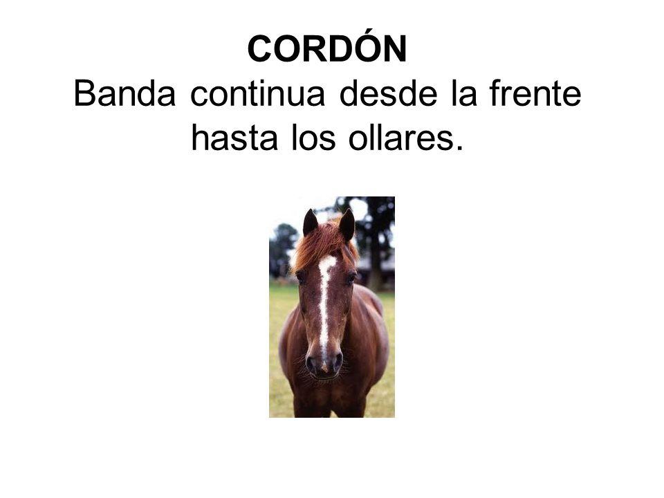 CORDÓN Banda continua desde la frente hasta los ollares.