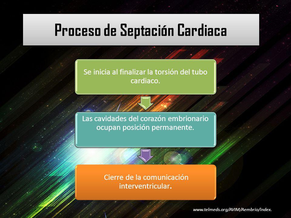 Proceso de Septación Cardiaca Se inicia al finalizar la torsión del tubo cardiaco. Las cavidades del corazón embrionario ocupan posición permanente. C
