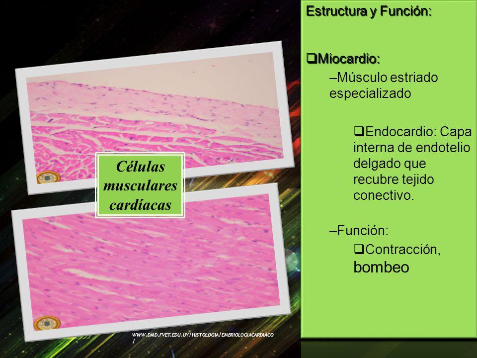 Células musculares cardíacas WWW. DMD. FVET. EDU. UY / HISTOLOGIA / EMBRIOLOGIACARDIACO /