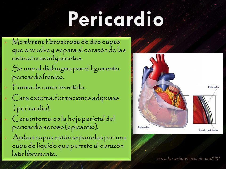 Membrana fibroserosa de dos capas que envuelve y separa al corazón de las estructuras adyacentes. Se une al diafragma por el ligamento pericardiofréni