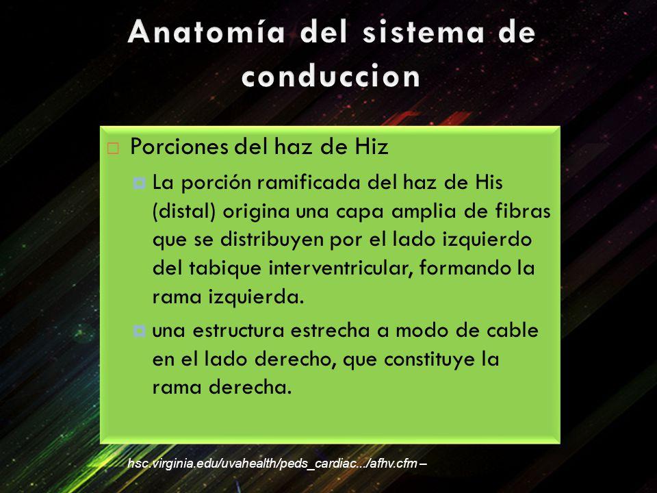 Porciones del haz de Hiz La porción ramificada del haz de His (distal) origina una capa amplia de fibras que se distribuyen por el lado izquierdo del tabique interventricular, formando la rama izquierda.