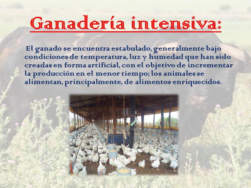 Ganadería intensiva: El ganado se encuentra estabulado, generalmente bajo condiciones de temperatura, luz y humedad que han sido creadas en forma arti