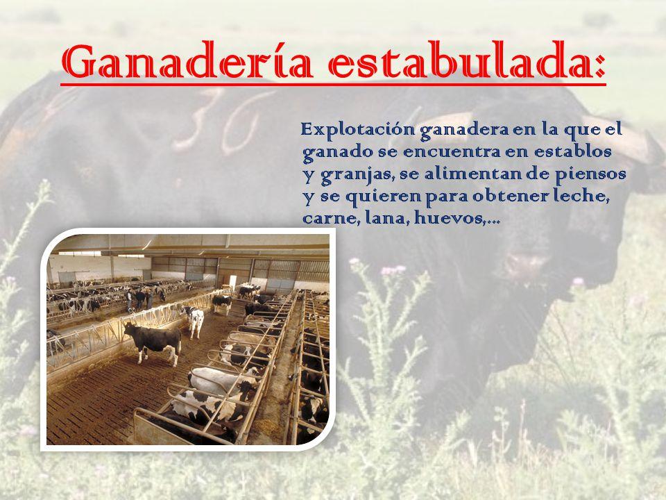 Ganadería estabulada: Explotación ganadera en la que el ganado se encuentra en establos y granjas, se alimentan de piensos y se quieren para obtener l