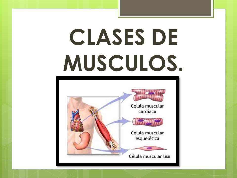 CLASES DE MUSCULOS.