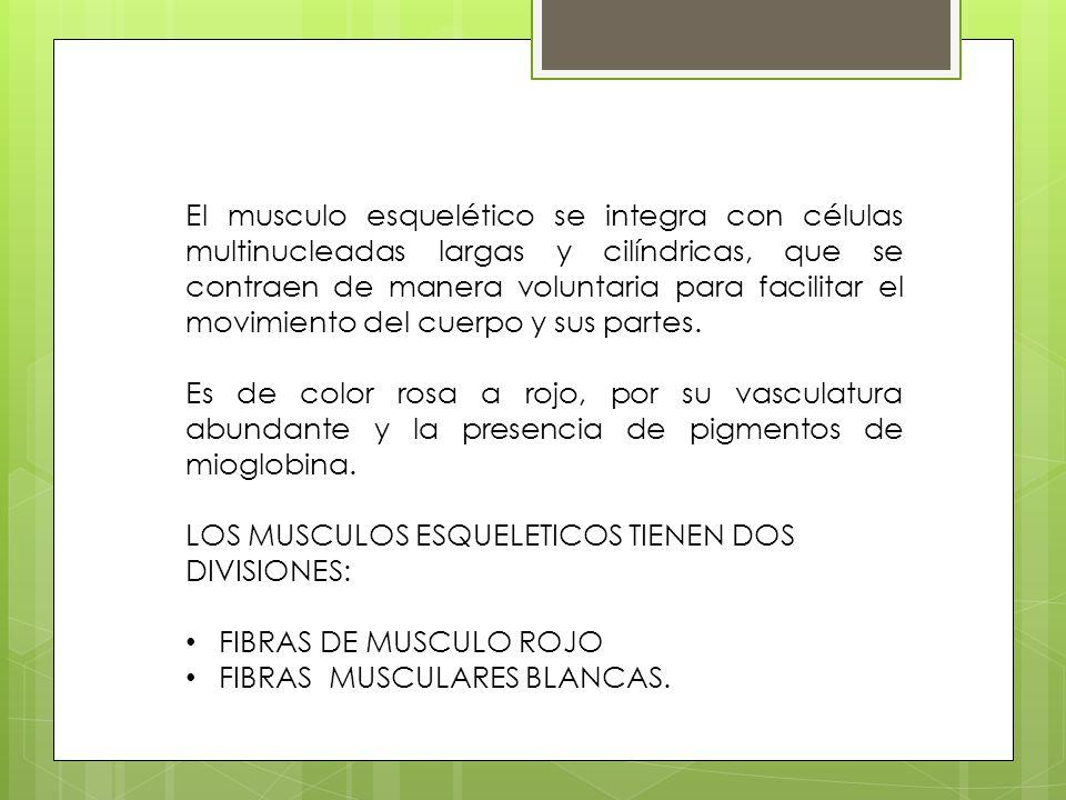 El musculo esquelético se integra con células multinucleadas largas y cilíndricas, que se contraen de manera voluntaria para facilitar el movimiento d