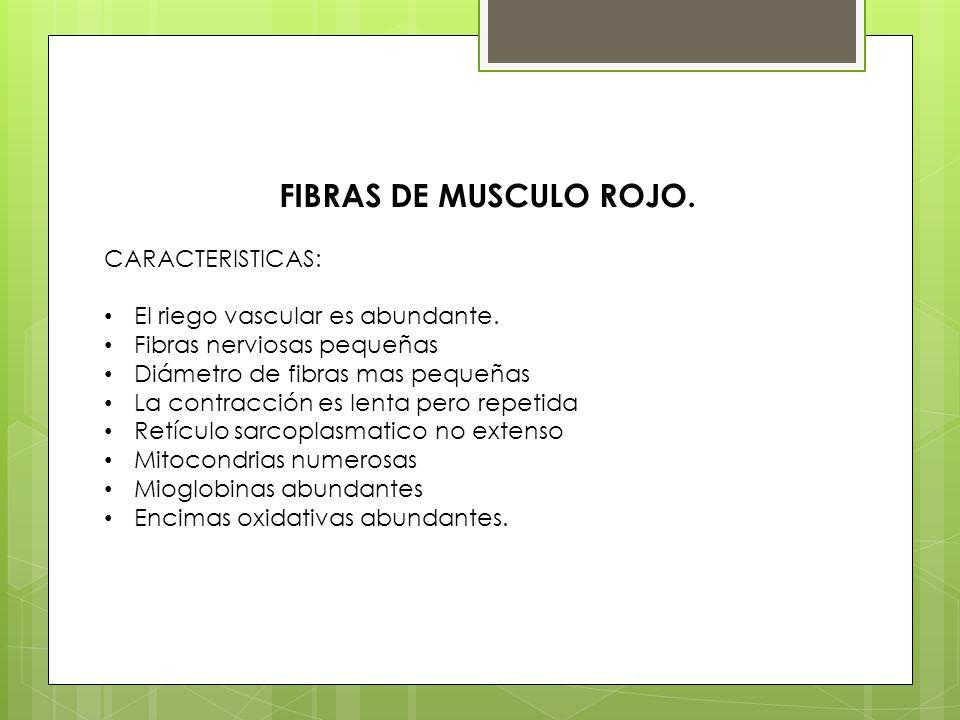 FIBRAS DE MUSCULO ROJO. CARACTERISTICAS: El riego vascular es abundante. Fibras nerviosas pequeñas Diámetro de fibras mas pequeñas La contracción es l