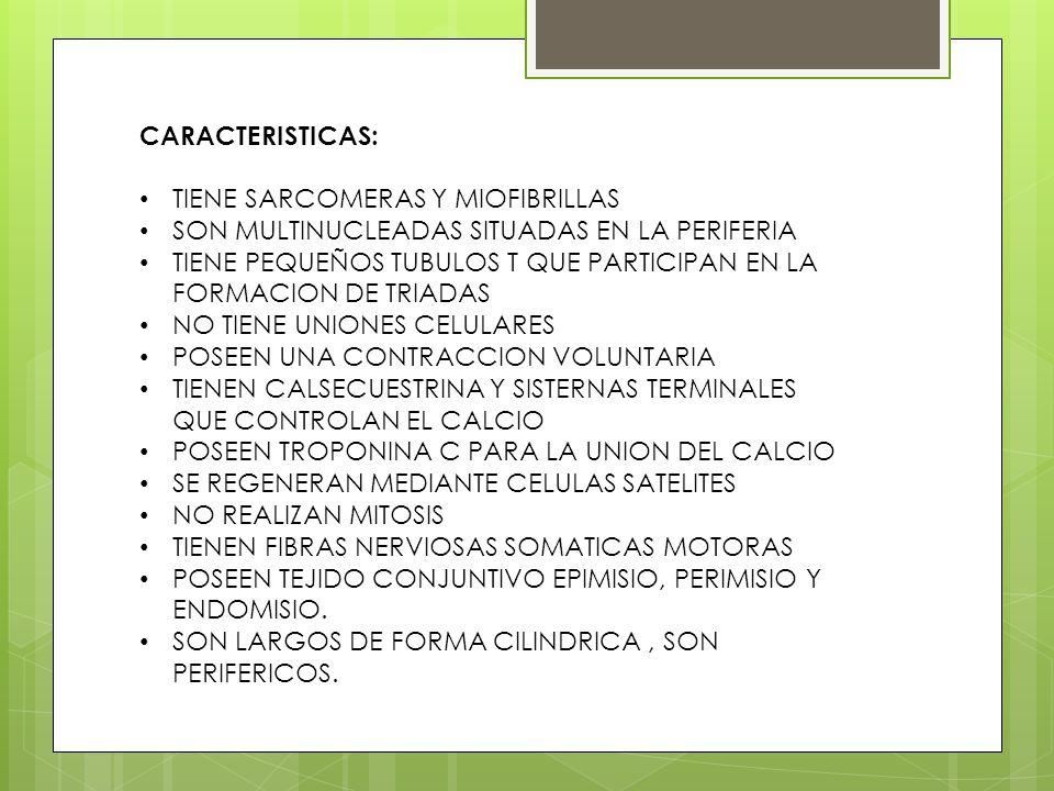 CARACTERISTICAS: TIENE SARCOMERAS Y MIOFIBRILLAS SON MULTINUCLEADAS SITUADAS EN LA PERIFERIA TIENE PEQUEÑOS TUBULOS T QUE PARTICIPAN EN LA FORMACION D