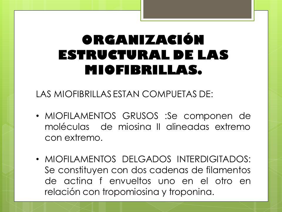 ORGANIZACIÓN ESTRUCTURAL DE LAS MIOFIBRILLAS. LAS MIOFIBRILLAS ESTAN COMPUETAS DE: MIOFILAMENTOS GRUSOS :Se componen de moléculas de miosina II alinea