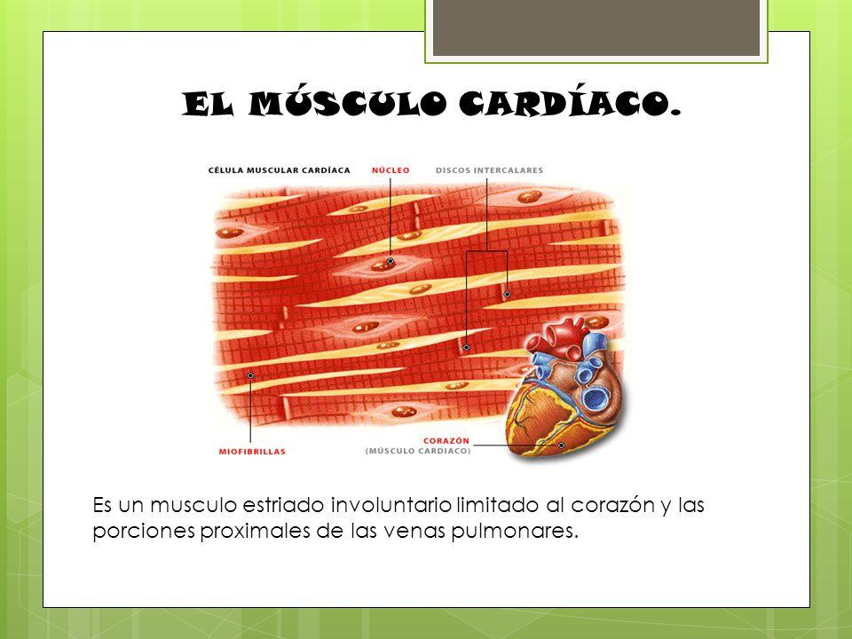 EL MÚSCULO CARDÍACO. Es un musculo estriado involuntario limitado al corazón y las porciones proximales de las venas pulmonares.