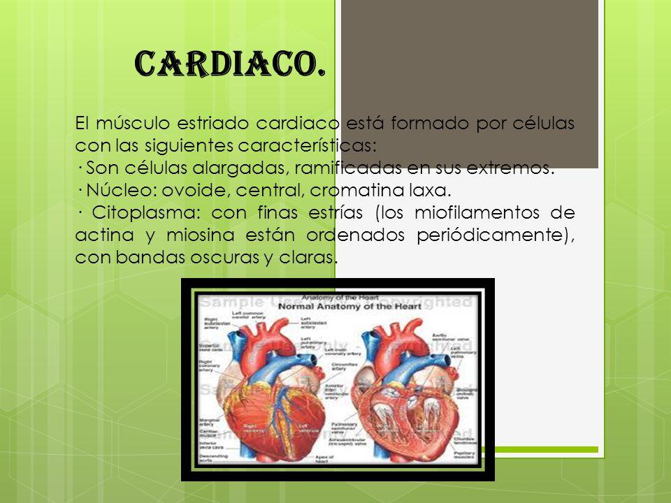 Cardiaco. El músculo estriado cardiaco está formado por células con las siguientes características: · Son células alargadas, ramificadas en sus extrem