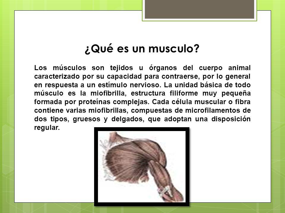 ¿Qué es un musculo? Los músculos son tejidos u órganos del cuerpo animal caracterizado por su capacidad para contraerse, por lo general en respuesta a
