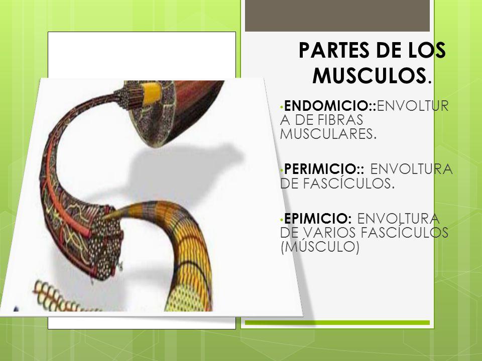 PARTES DE LOS MUSCULOS. ENDOMICIO:: ENVOLTUR A DE FIBRAS MUSCULARES. PERIMICIO:: ENVOLTURA DE FASCÍCULOS. EPIMICIO: ENVOLTURA DE VARIOS FASCÍCULOS (MÚ