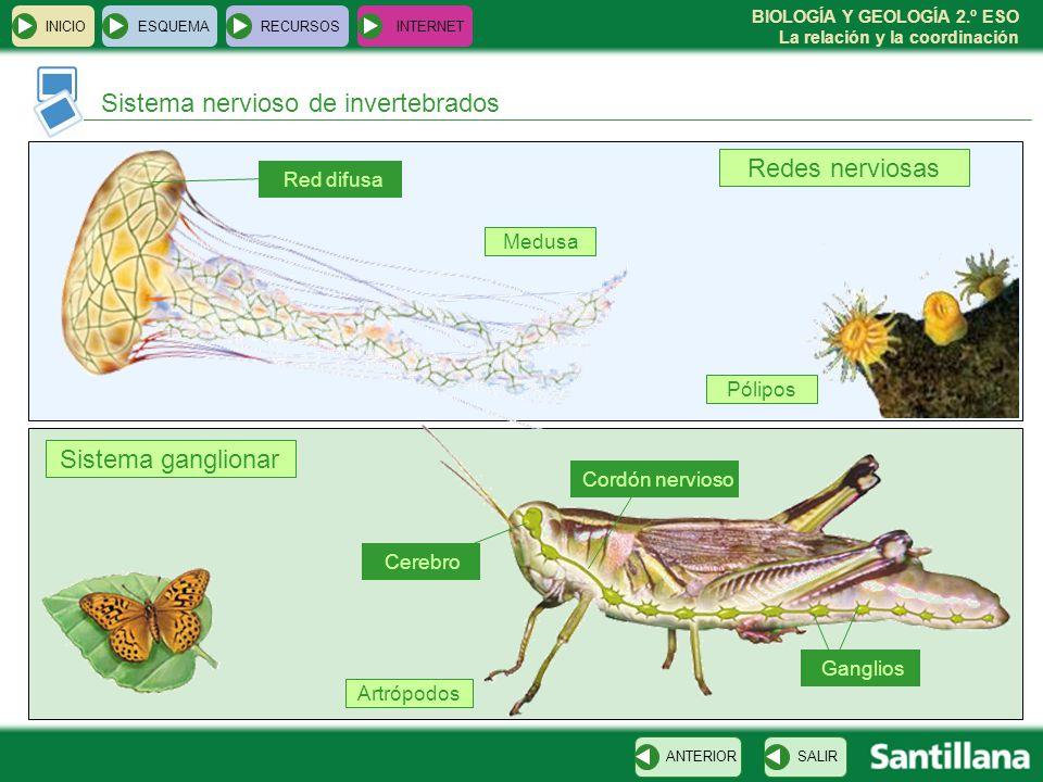 BIOLOGÍA Y GEOLOGÍA 2.º ESO La relación y la coordinación Sistema nervioso de invertebrados INICIOESQUEMARECURSOSINTERNET SALIRANTERIOR Redes nerviosa