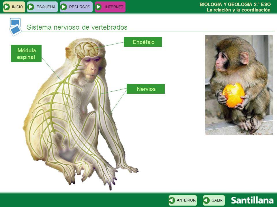 BIOLOGÍA Y GEOLOGÍA 2.º ESO La relación y la coordinación INICIOESQUEMARECURSOSINTERNET Sistema nervioso de vertebrados SALIRANTERIOR Encéfalo Nervios