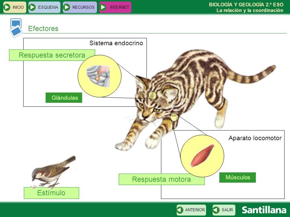 BIOLOGÍA Y GEOLOGÍA 2.º ESO La relación y la coordinación Estímulo Respuesta secretora Respuesta motora INICIOESQUEMARECURSOSINTERNET Efectores SALIRA