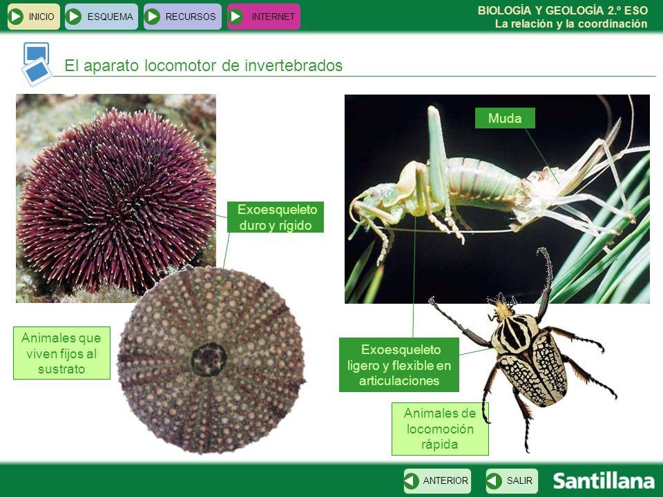 BIOLOGÍA Y GEOLOGÍA 2.º ESO La relación y la coordinación Animales de locomoción rápida INICIOESQUEMARECURSOSINTERNET El aparato locomotor de inverteb
