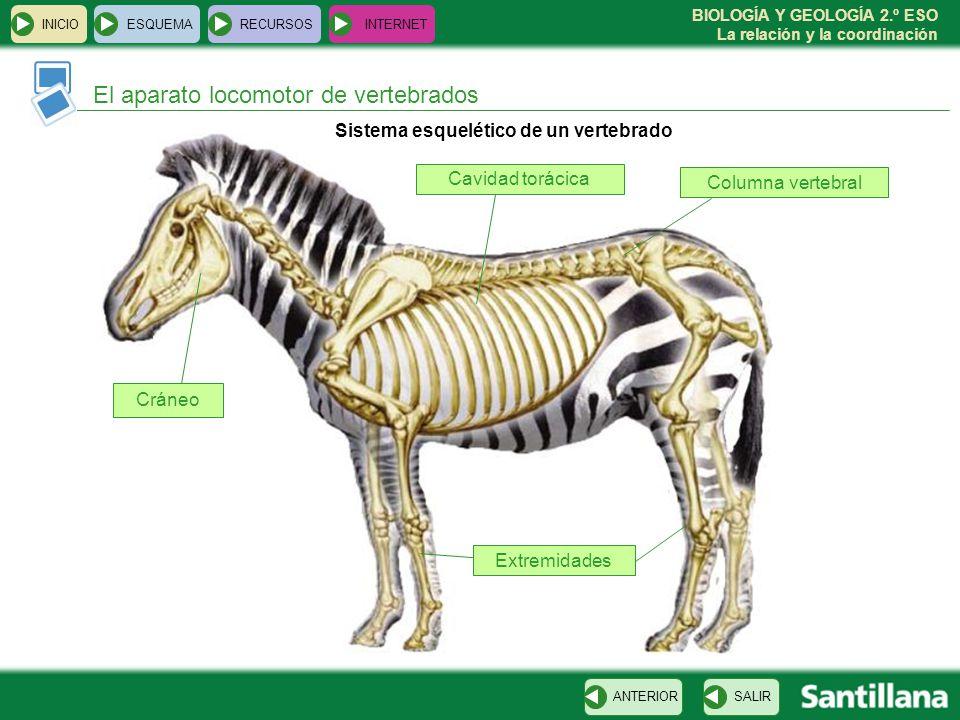 BIOLOGÍA Y GEOLOGÍA 2.º ESO La relación y la coordinación INICIOESQUEMARECURSOSINTERNET El aparato locomotor de vertebrados SALIRANTERIOR Sistema esqu