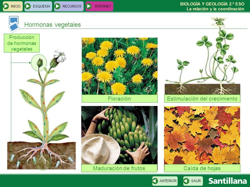 BIOLOGÍA Y GEOLOGÍA 2.º ESO La relación y la coordinación Hormonas vegetales INICIOESQUEMARECURSOSINTERNET SALIRANTERIOR Producción de hormonas vegeta