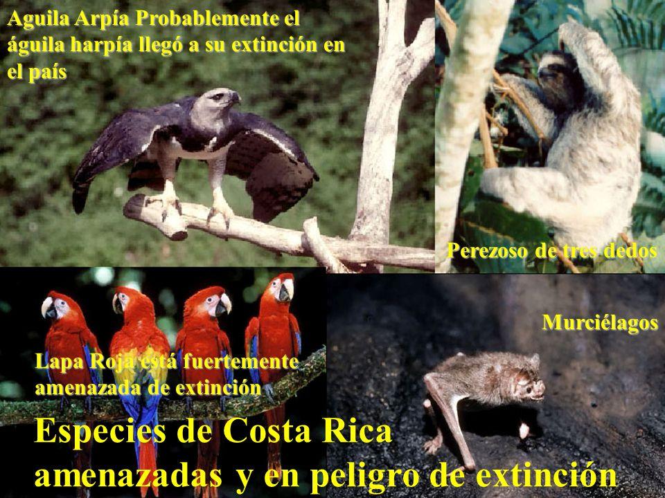 Especies de Costa Rica amenazadas y en peligro de extinción Murciélagos Aguila Arpía Probablemente el águila harpía llegó a su extinción en el país La
