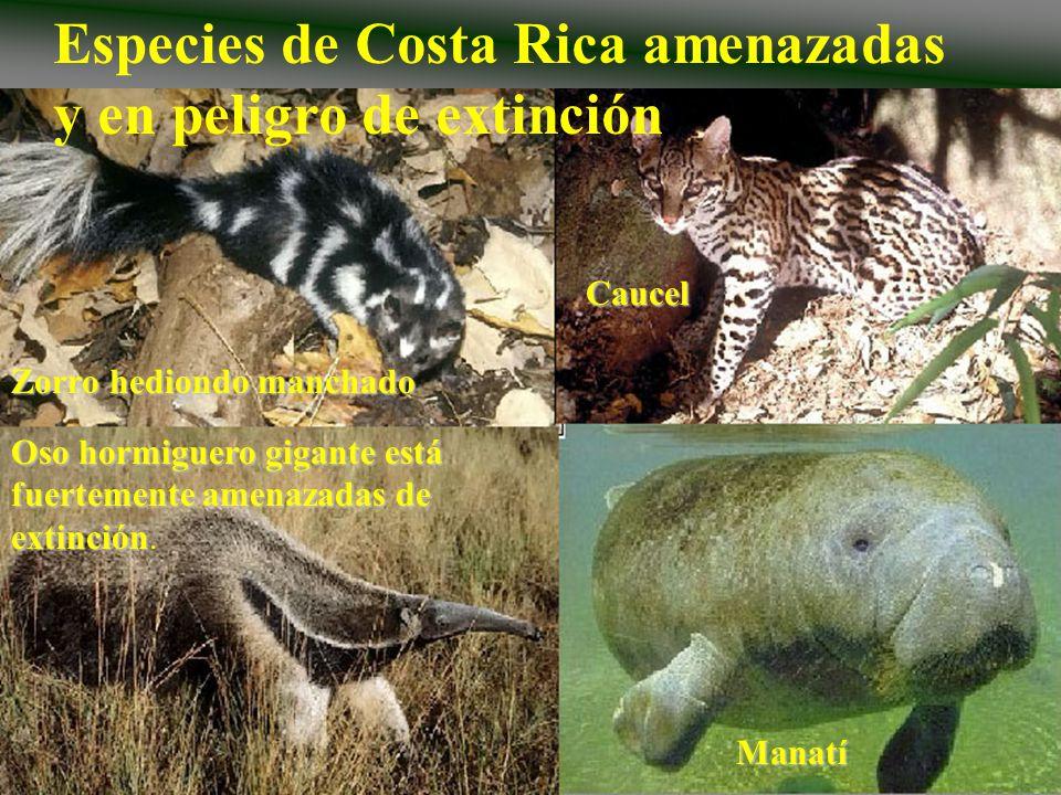 Especies de Costa Rica amenazadas y en peligro de extinciónManatí Oso hormiguero gigante está fuertemente amenazadas de extinción Oso hormiguero gigan