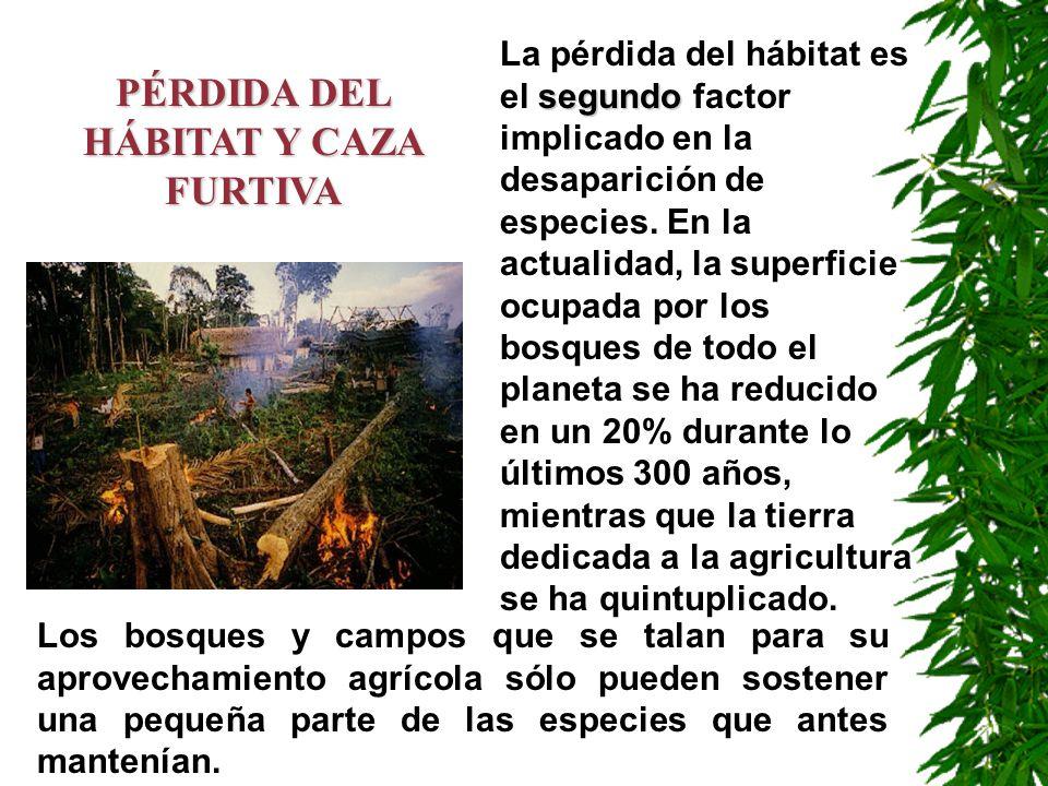 PÉRDIDA DEL HÁBITAT Y CAZA FURTIVA segundo La pérdida del hábitat es el segundo factor implicado en la desaparición de especies. En la actualidad, la