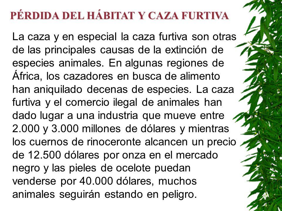 La caza y en especial la caza furtiva son otras de las principales causas de la extinción de especies animales. En algunas regiones de África, los caz