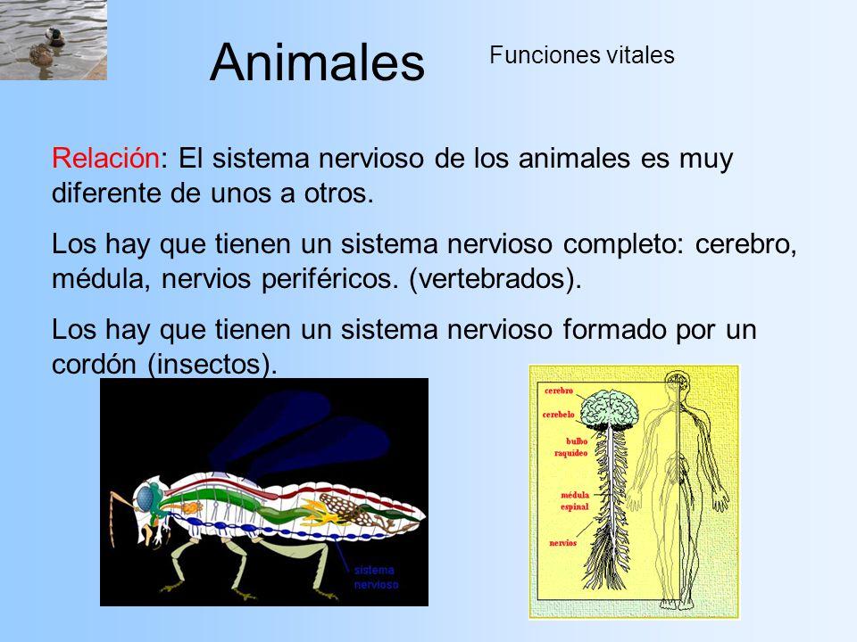 Animales Funciones vitales Relación: El sistema nervioso de los animales es muy diferente de unos a otros. Los hay que tienen un sistema nervioso comp