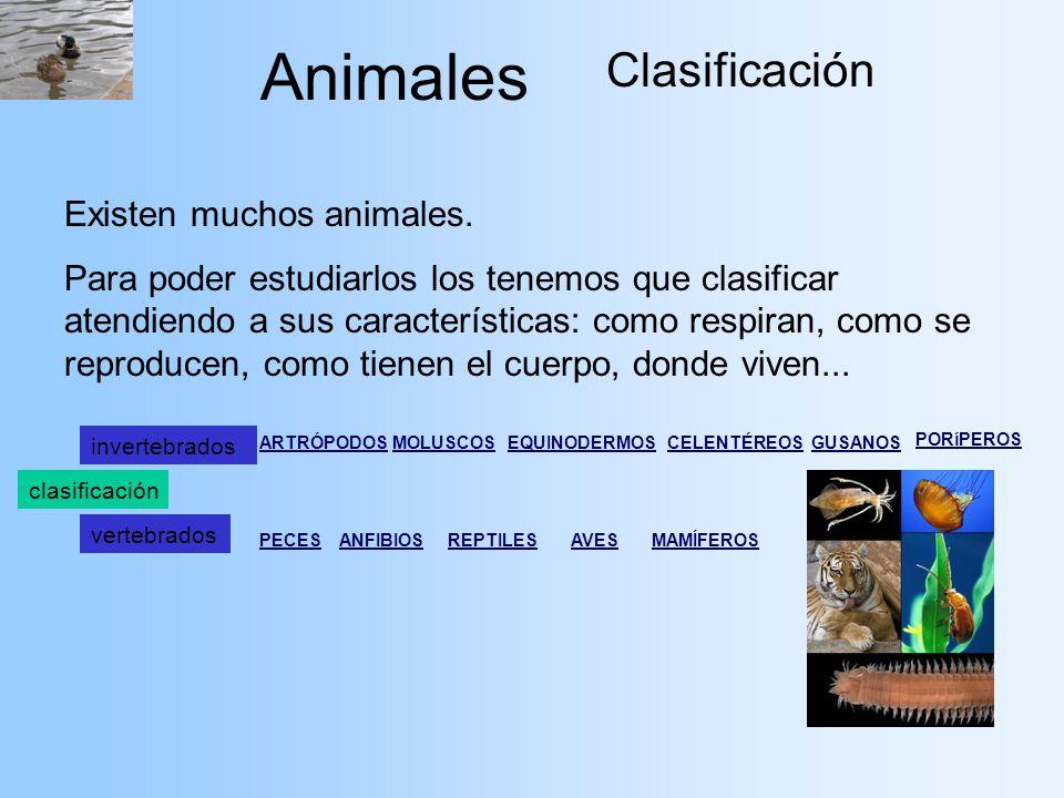 Animales Clasificación Existen muchos animales. Para poder estudiarlos los tenemos que clasificar atendiendo a sus características: como respiran, com