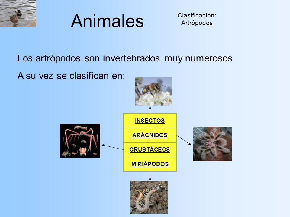 Animales Clasificación: Artrópodos Los artrópodos son invertebrados muy numerosos. A su vez se clasifican en: INSECTOS ARÁCNIDOS CRUSTÁCEOS MIRIÁPODOS