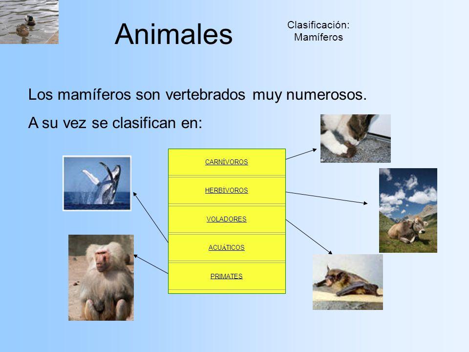 Animales Clasificación: Mamíferos Los mamíferos son vertebrados muy numerosos. A su vez se clasifican en: CARN Í VOROS HERB Í VOROS VOLADORES ACU Á TI
