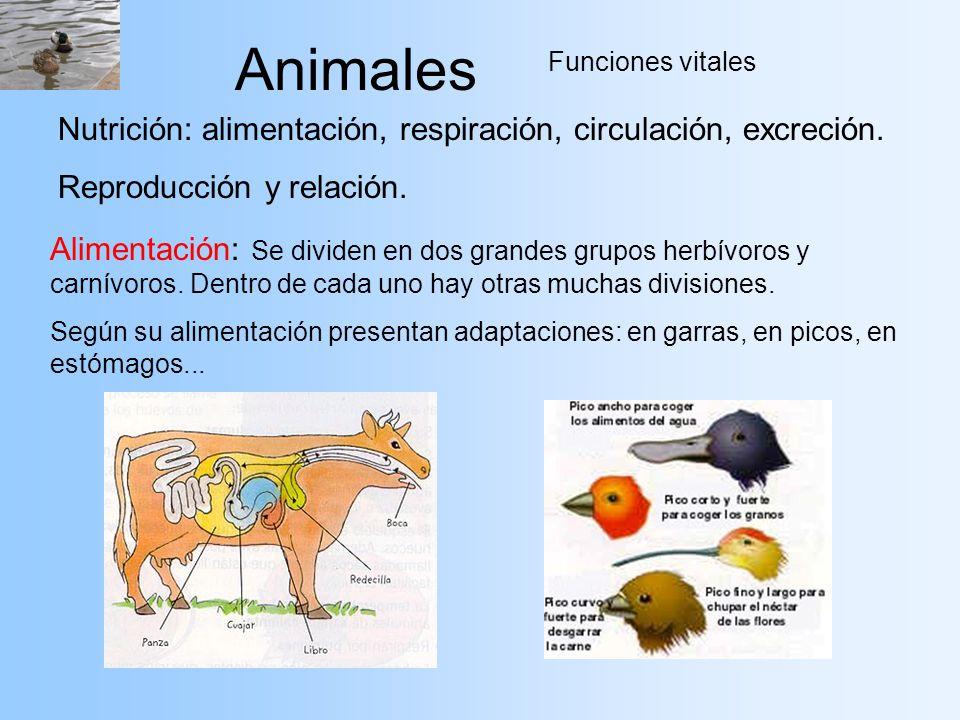 Animales Funciones vitales Nutrición: alimentación, respiración, circulación, excreción. Reproducción y relación. Alimentación: Se dividen en dos gran