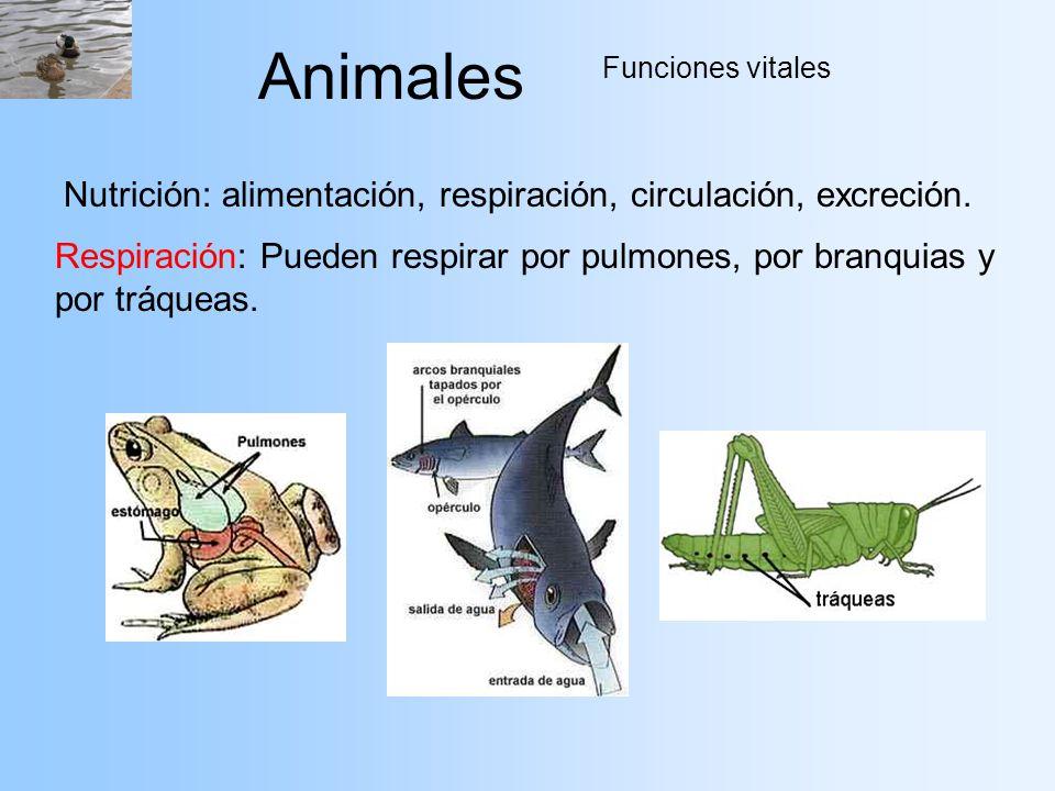 Animales Funciones vitales Nutrición: alimentación, respiración, circulación, excreción. Respiración: Pueden respirar por pulmones, por branquias y po