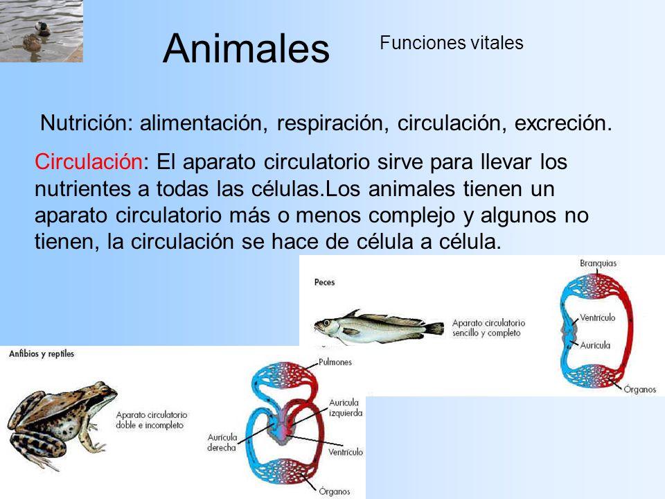 Animales Funciones vitales Nutrición: alimentación, respiración, circulación, excreción. Circulación: El aparato circulatorio sirve para llevar los nu