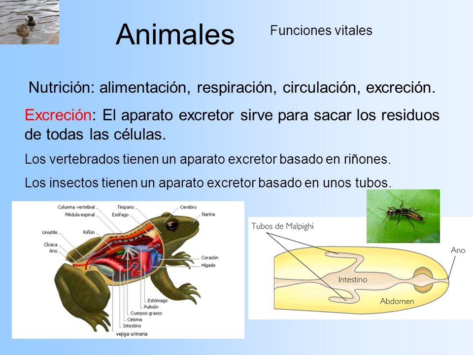 Animales Funciones vitales Nutrición: alimentación, respiración, circulación, excreción. Excreción: El aparato excretor sirve para sacar los residuos