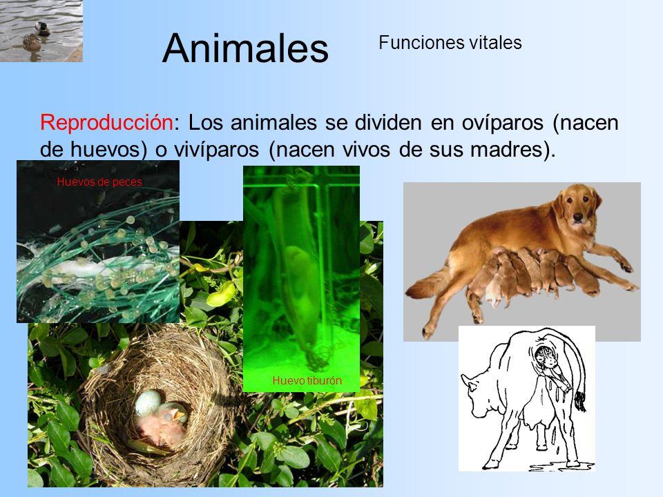 Animales Funciones vitales Reproducción: Los animales se dividen en ovíparos (nacen de huevos) o vivíparos (nacen vivos de sus madres). Huevos de pece