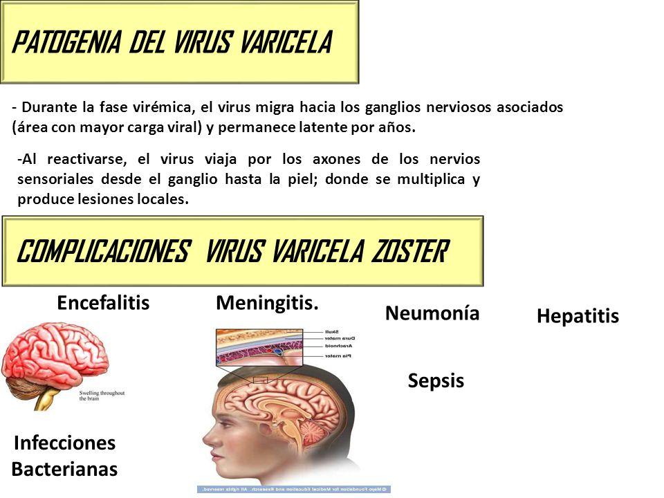 PATOGENIA DEL VIRUS VARICELA - Durante la fase virémica, el virus migra hacia los ganglios nerviosos asociados (área con mayor carga viral) y permanec