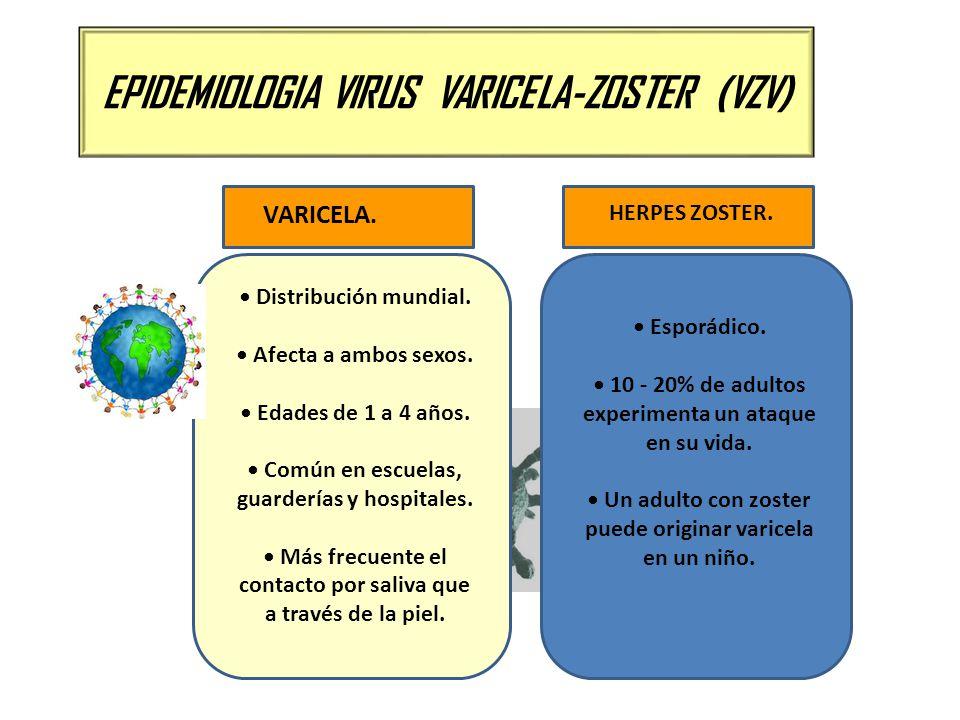 EPIDEMIOLOGIA VIRUS VARICELA-ZOSTER (VZV) Distribución mundial. Afecta a ambos sexos. Edades de 1 a 4 años. Común en escuelas, guarderías y hospitales