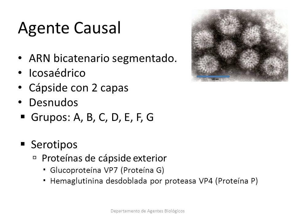 ARN bicatenario segmentado. Icosaédrico Cápside con 2 capas Desnudos Grupos: A, B, C, D, E, F, G Serotipos Proteínas de cápside exterior Glucoproteína