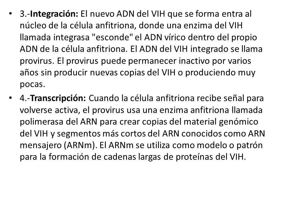 3.-Integración: El nuevo ADN del VIH que se forma entra al núcleo de la célula anfitriona, donde una enzima del VIH llamada integrasa