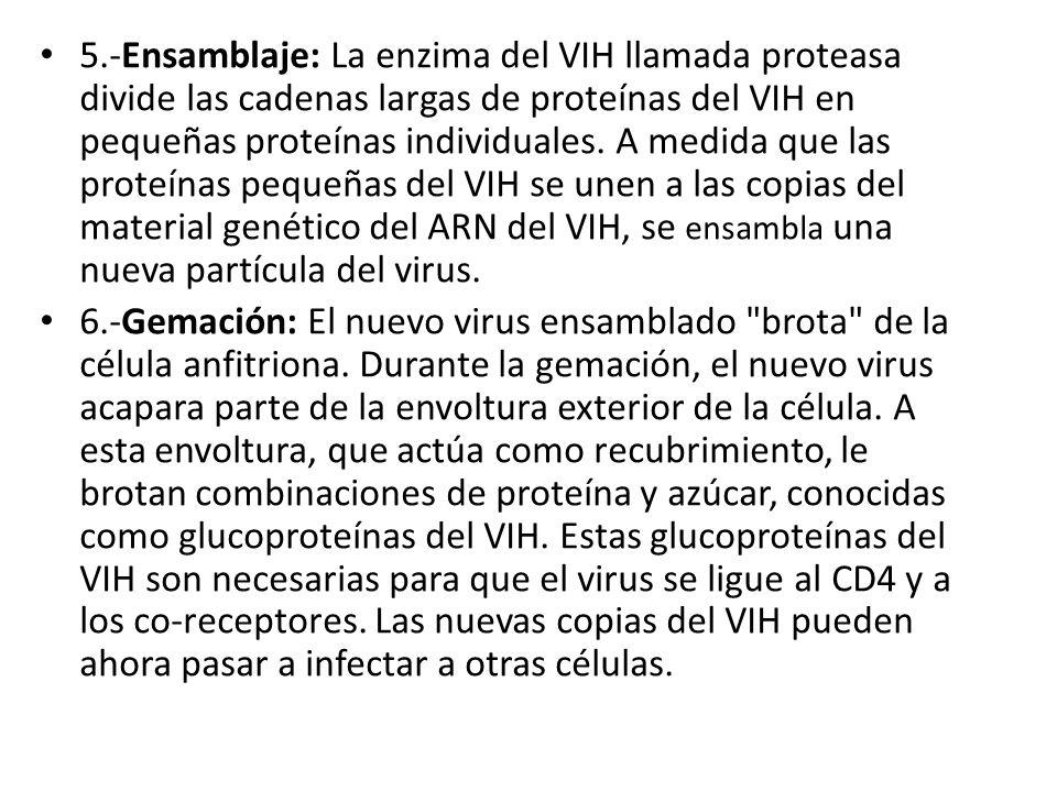 5.-Ensamblaje: La enzima del VIH llamada proteasa divide las cadenas largas de proteínas del VIH en pequeñas proteínas individuales. A medida que las