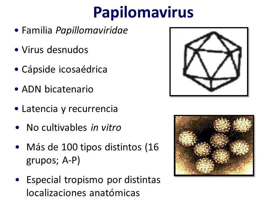 Papilomavirus Familia Papillomaviridae Virus desnudos Cápside icosaédrica ADN bicatenario Latencia y recurrencia No cultivables in vitro Más de 100 ti