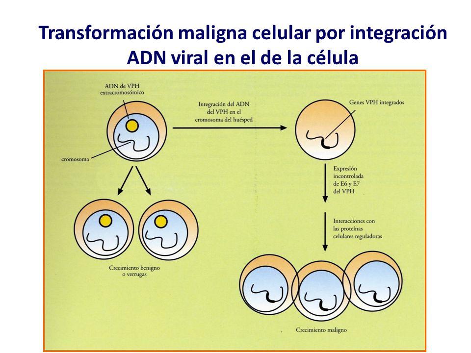 Transformación maligna celular por integración ADN viral en el de la célula