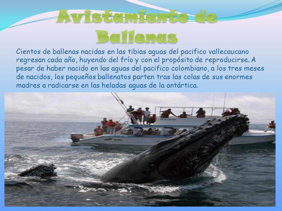 Cientos de ballenas nacidas en las tibias aguas del pacifico vallecaucano regresan cada año, huyendo del frío y con el propósito de reproducirse.