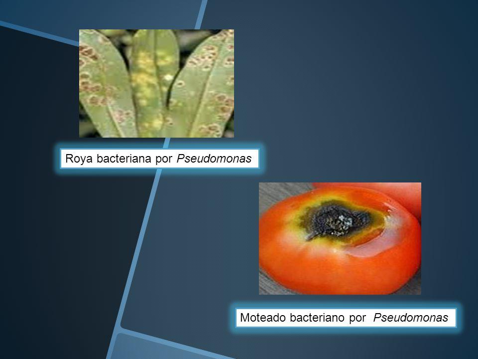 Roya bacteriana por Pseudomonas Moteado bacteriano por Pseudomonas