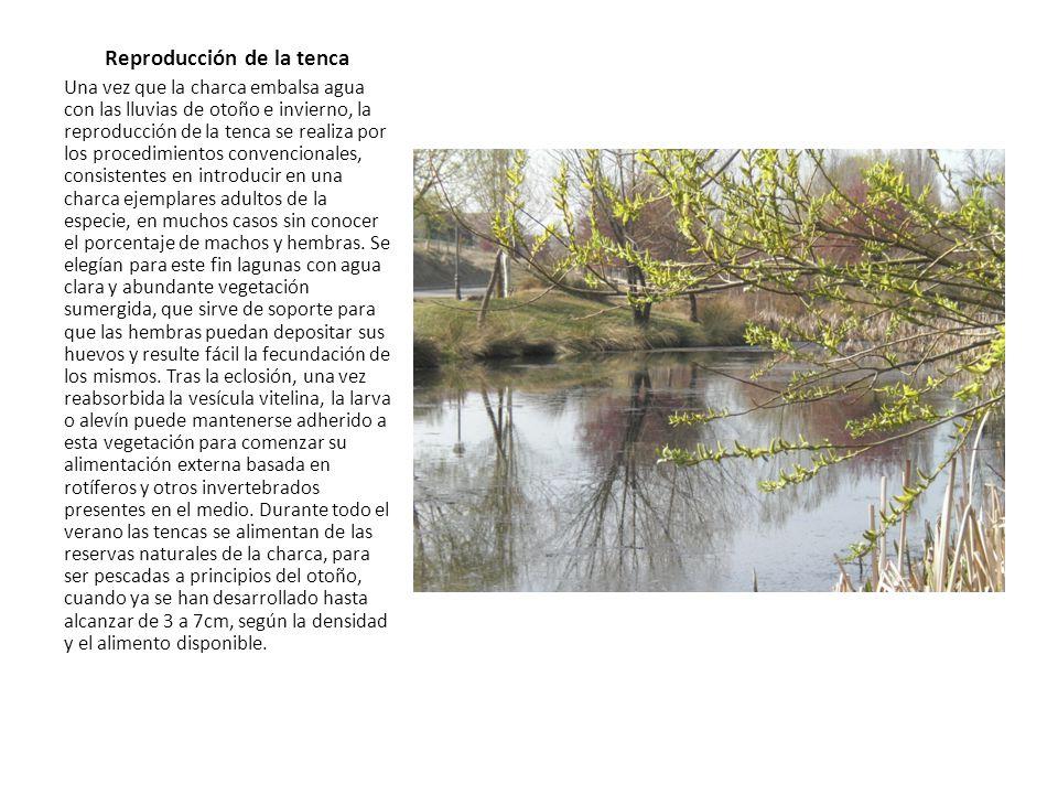 Reproducción de la tenca Una vez que la charca embalsa agua con las lluvias de otoño e invierno, la reproducción de la tenca se realiza por los proced