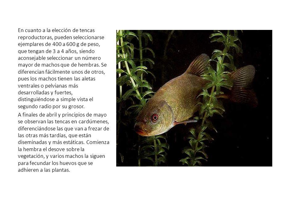 Engorde de la tenca Las charcas de engorde no tienen las aguas transparentes y carecen de la vegetación descrita para las charcas de alevinaje.