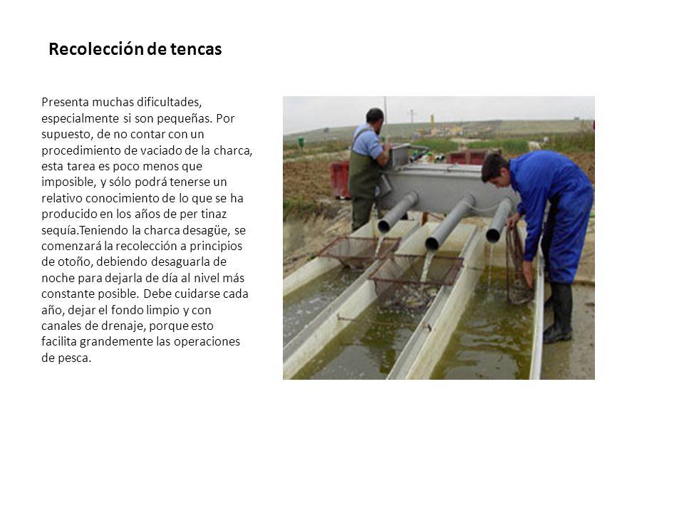 Sistemas de producción Método extensivo: las producciones de este tipo oscilan entre los 200 y los 500 kilos por hectárea, según la capa- cidad biogénica de las aguas y la ayuda alimenticia complementaria.