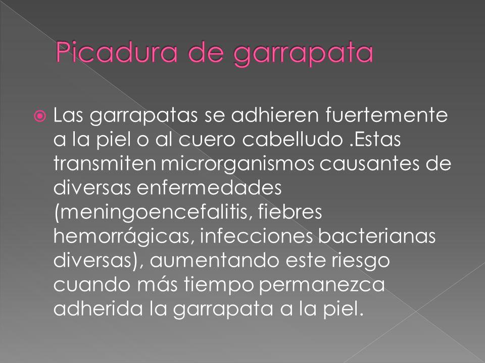 Las garrapatas se adhieren fuertemente a la piel o al cuero cabelludo.Estas transmiten microrganismos causantes de diversas enfermedades (meningoencef