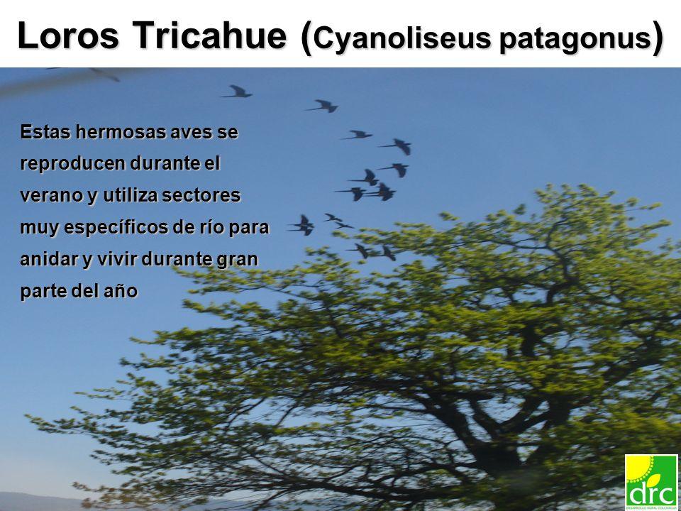 15 Loros Tricahue ( Cyanoliseus patagonus ) Estas hermosas aves se reproducen durante el verano y utiliza sectores muy específicos de río para anidar